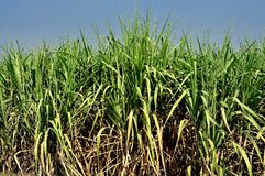 Saraburi, Thailand:  Sugar Cane Field Stock Image