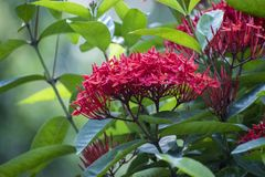 Ashoka flowers of Dinajpur, Bangladesh. Saraca asoca the ashoka tree; lit., `sorrow-less` is a plant belonging to the Caesalpinioideae subfamily of the legume royalty free stock image