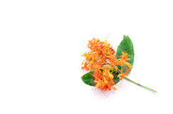 Saraca asoca Flowers on white stock photos