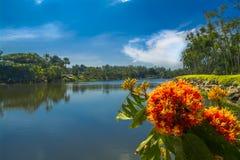 Saraca indica. Saraca indica on the background of lake. Thailand Royalty Free Stock Photo