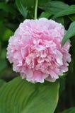 ` Sarah Bernhardt ` Paeonia lactiflora Obrazy Royalty Free