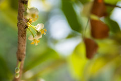 Sarapee flowers, Mammea siamensis Stock Image