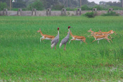 Saras birds and black bucks Royalty Free Stock Image