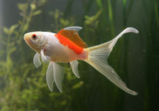 Saras comet goldfish Stock Photos