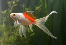 Saras comet goldfish. Portrait fishtank stock photos