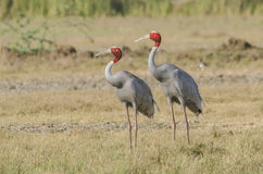 Saras crane birds. The sarus crane is a large non-migratory crane found in parts of the Indian Subcontinent, Southeast Asia and Australia. The tallest of the Royalty Free Stock Photos