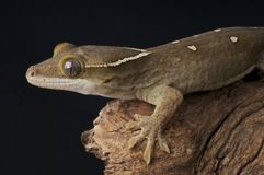 Sarasin's Giant Gecko Royalty Free Stock Photo