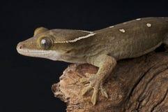 Sarasin's Giant Gecko Royalty Free Stock Photo