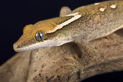 Sarasinorum géant de Correlophus de gecko du ` s de Sarasin photos libres de droits