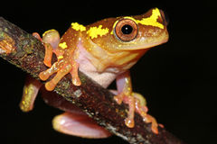 A Sarayacu Treefrog in the Amazon Royalty Free Stock Images