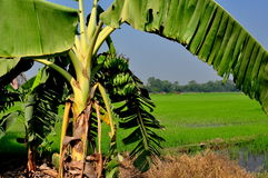 Sarburi, Thailand: Banana Tree and Rice Paddies Stock Images
