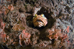 Sarcastic Fringehead Royalty Free Stock Images