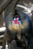 Sarcastic Smirk on the Face of a Mandrill. Smug mug on the face of a mandrill Royalty Free Stock Photography