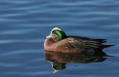 Sarcelle d'hiver à ailes par vert Image libre de droits