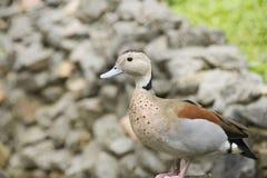 Sarcelle d'hiver baguée de canard se tenant sur la roche Photographie stock