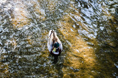 Sarcelle d'hiver de natation, soleil de matin, rivière, Cotswolds, Angleterre Photographie stock libre de droits