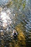Sarcelle d'hiver de natation, soleil de matin, rivière, Cotswolds, Angleterre Photos stock