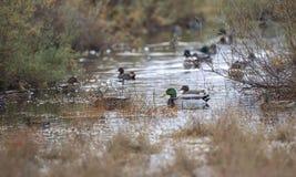 Sarcelles d'hiver et canards Image libre de droits