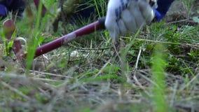 Sarchiatura della piantagione di giovani pini archivi video