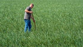 Sarchiatura via delle erbacce in un grande campo della cipolla Fotografie Stock Libere da Diritti