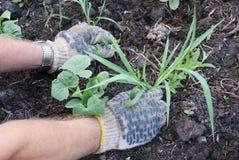 Sarclage des herbes Image libre de droits