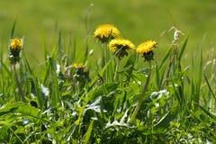 Sarclez dans la pelouse, pissenlit avec les fleurs jaunes photo stock