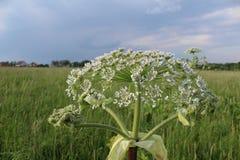 Sarclez, des panais-fleurs d'une vache à usine de toxique pendant l'été photos stock