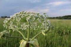 Sarclez, des panais-fleurs d'une vache à usine de toxique pendant l'été photos libres de droits