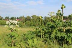 Sarclez, des panais-fleurs d'une vache à usine de toxique pendant l'été images stock