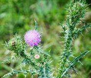 Sarclez l'épine rose lumineuse pelucheuse avec les aiguilles pointues image libre de droits