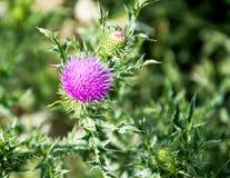 Sarclez l'épine rose lumineuse pelucheuse avec les aiguilles pointues photo stock