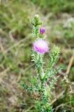 Sarclez l'épine rose lumineuse pelucheuse avec les aiguilles pointues photo libre de droits