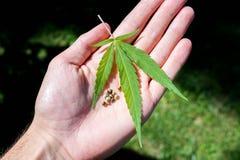 Sarclez la drogue d'homme de main de feuille de graine de cannabis de marijuana photos libres de droits