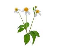 Sarclez la fleur, les aiguilles espagnoles ou le bâton de mendiant avec les feuilles vertes Image libre de droits