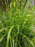 Sarclez la fleur verte luxuriante aux berges et à la maison d'extérieur photo libre de droits