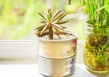 Sarclez le cactus dans la boîte en fer blanc sur le fond de fenêtre Photographie stock libre de droits