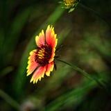 Sarclez qui est fleurissant photographie stock