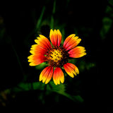 Sarclez qui fleurit 3 photo stock