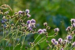 Sarclez qui a les fleurs pourpres dans le soleil de matin images stock