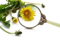 Sarclez sous la loupe, usine de pissenlit avec la fleur derrière un agrandissement image stock