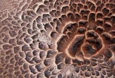 Sarcodon imbricatus Abschluss oben Stockbild