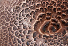 Sarcodon imbricatus close up Stock Image
