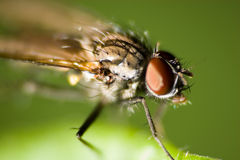 Sarcophaga carnaria. The usual fly sits on a plant. A close up Stock Photography