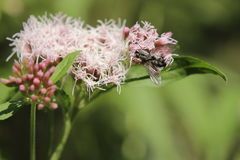 Sarcophaga carnaria or the common flesh fly on hemp-agrimony.  Royalty Free Stock Image