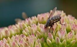 Sarcophaga carnaria Fliege auf einer sedum Blume Stockfotos