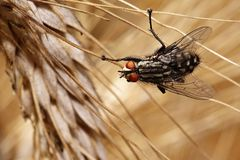 Sarcophaga carnaria. A pesky fly occurring worldwide Stock Photo