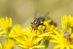 Sarcophaga Fly amongst Ragwort Flowers Royalty Free Stock Photo