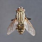 Sarcophaga species Royalty Free Stock Image