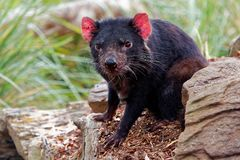 Sarcophilus harrisii - Tasmanian Devil in the night and day stock photo