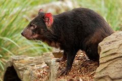 Sarcophilus harrisii - Tasmanian Devil in the night and day in Australia royalty free stock images